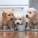 Czy wiesz na pewno jak karmić szczeniaka?