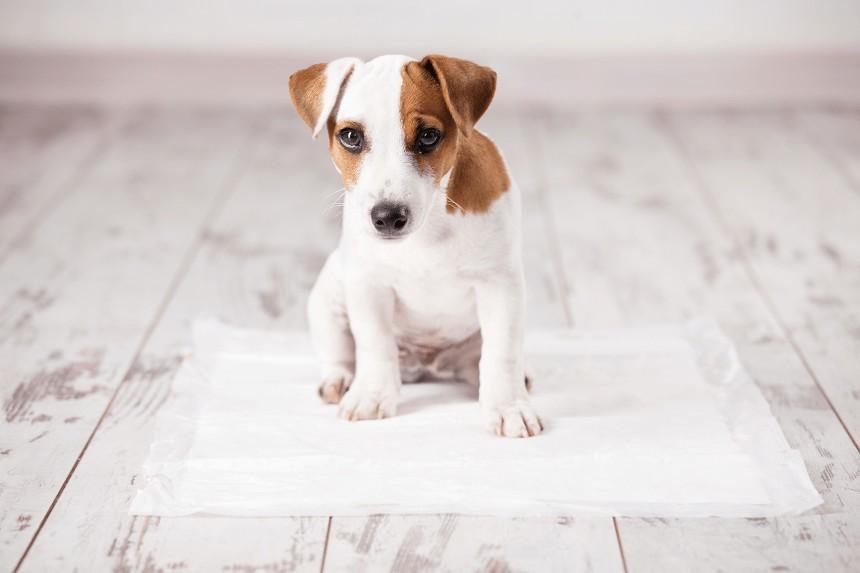 Jak nauczyć psa czystości? 3 kroki do sukcesu!
