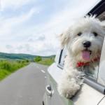 Choroba lokomocyjna u psa – 3 porady lekarza weterynarii jak pomóc pupilowi przetrwać podróż autem