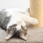 Jak nauczyć kota korzystać z drapaka?