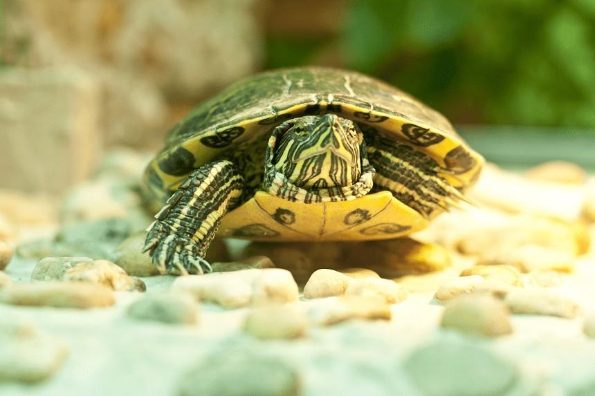 Co jedzą żółwie wodno-lądowe i dlaczego właśnie to?