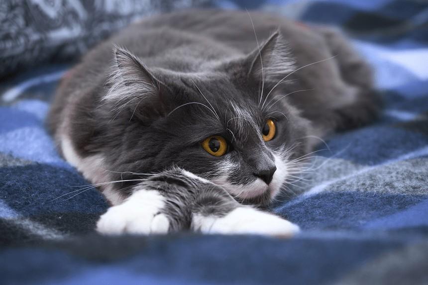 Wypadanie sierści u kota – czyli co robić, gdy kot linieje?