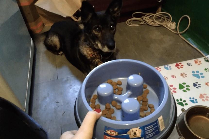 Jak oduczyć psa łapczywego jedzenia? Praga testuje miskę spowalniającą!