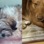 Pomysł na legowisko dla psa – Bucky i Leo testują stylowy materac AUUU