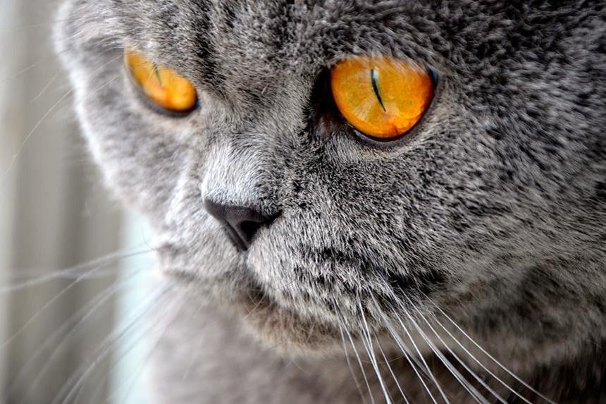 Zaropiałe oczy u kota – o czym świadczą?
