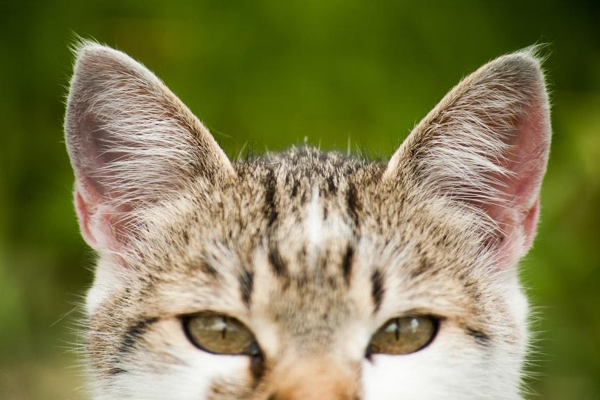Świerzbowiec uszny. Kompendium wiedzy o tym pasożycie kocich uszów