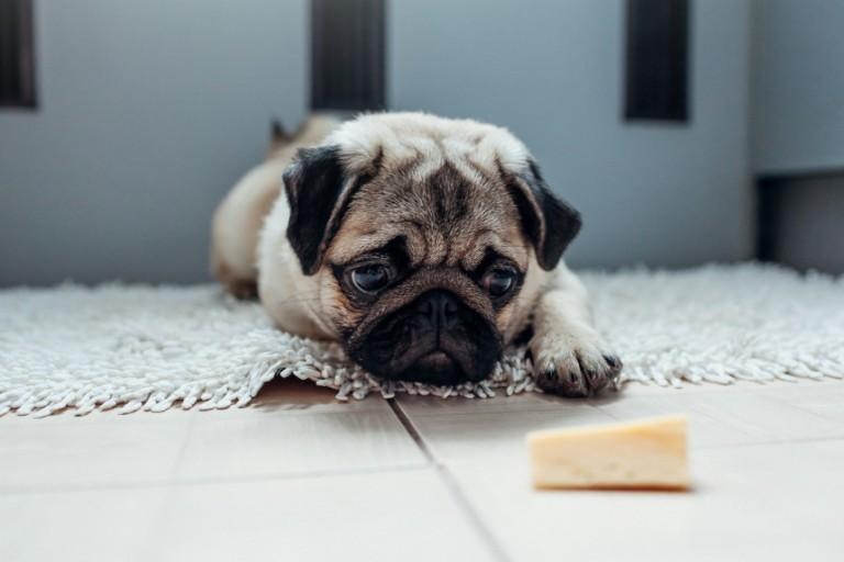 Czy pies może jeść ser? Sprawdź, czy ser może się znaleźć w diecie psa!