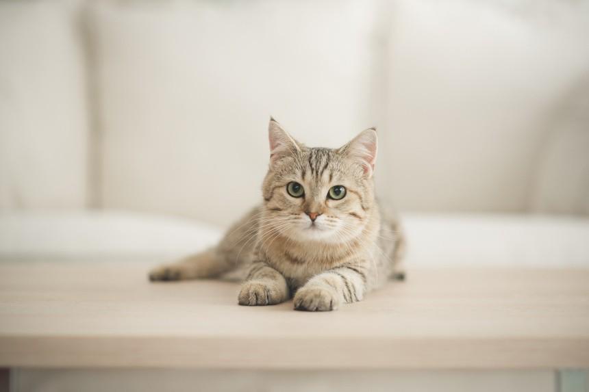 Tauryna dla kota – gdzie występuje i czy należy ją suplementować? Dowiedz się!