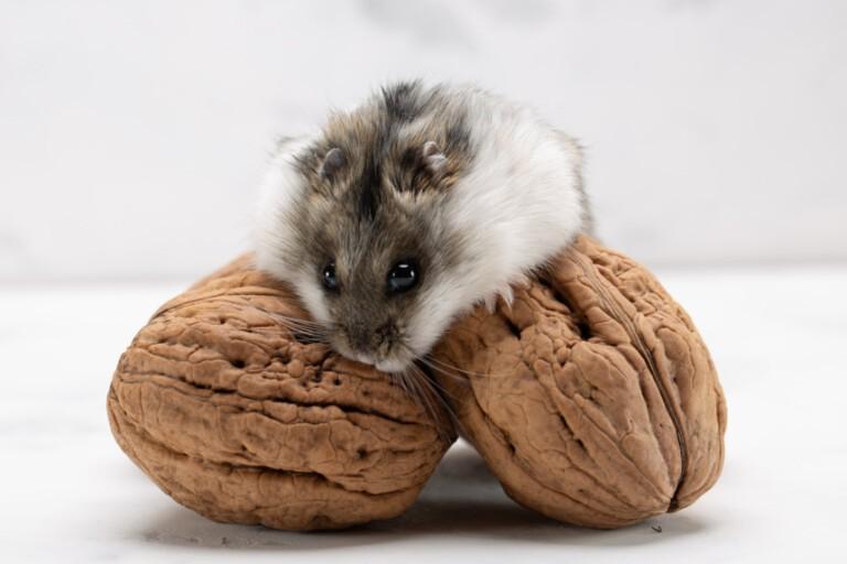 Orzechy dla chomika. Czy chomiki mogą jeść orzechy?