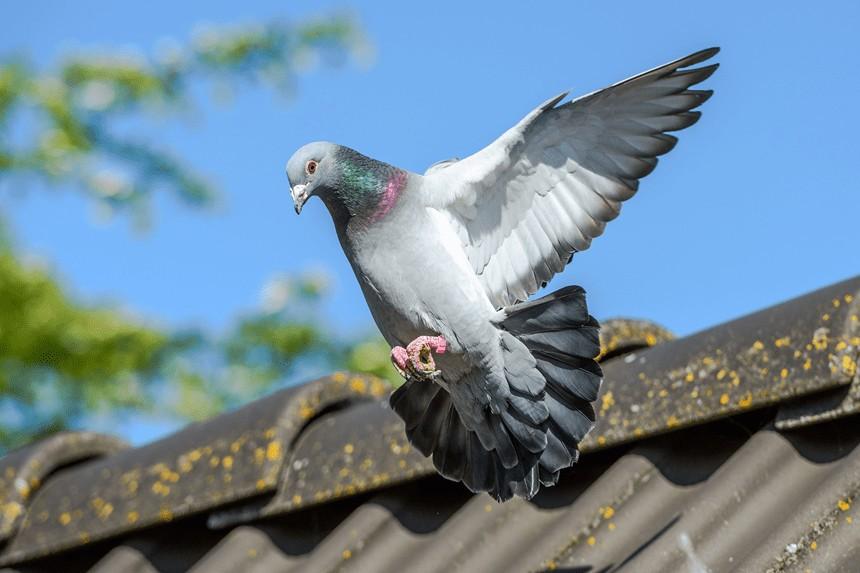 Hodowla gołębi – od czego zacząć?