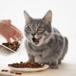 Ile razy dziennie karmić kota i ile karmy podawać?