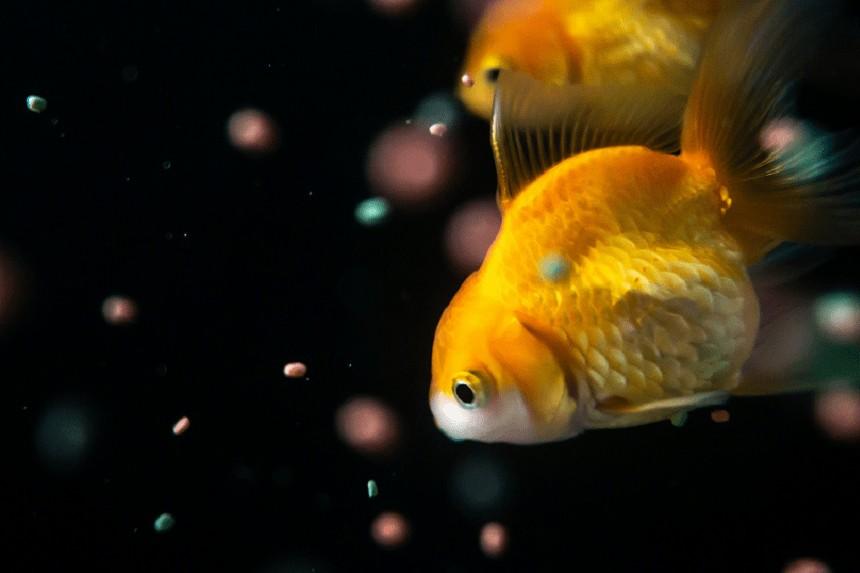 Zastanawiasz się, co jedzą ryby w akwarium? Sprawdź!