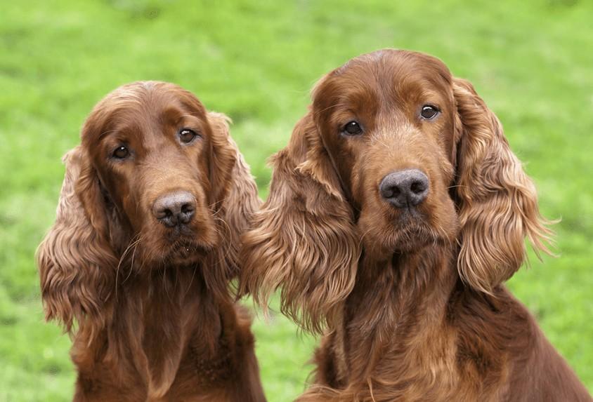 Pies czy suka – czyli jak rozpoznać płeć psa?