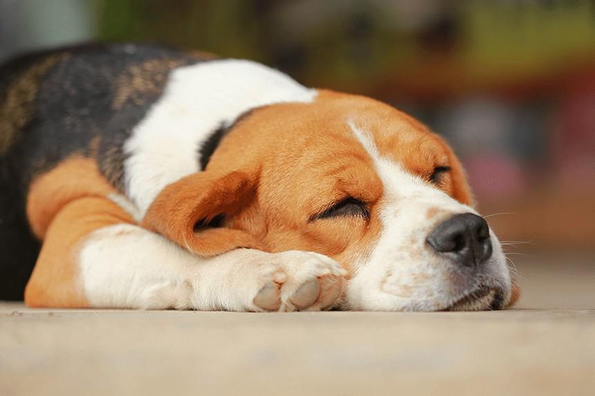 Czy wiesz, ile śpi pies, a ile szczeniak?