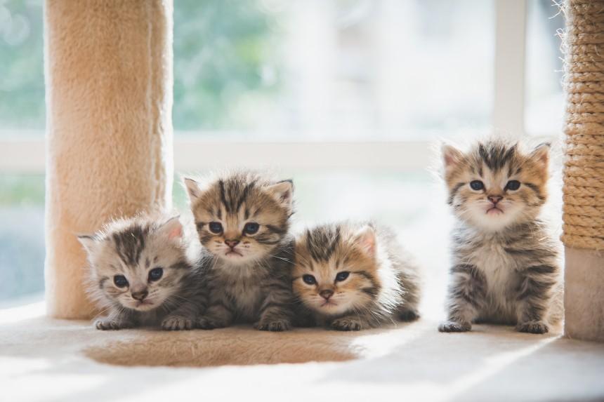 czy koty pamiętają rodzeństwo?