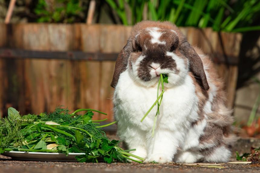 Zioła dla królika – czy królik może jeść koperek, miętę i inne zioła?