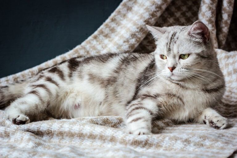 Ciąża u kota – ile trwa i jak przebiega? Odpowiadamy!