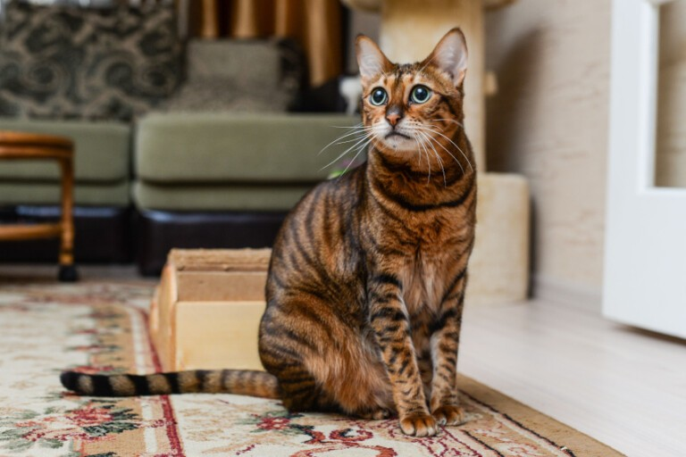 Kot Savannah – czym wyróżnia się ten krewny serwala? Poznaj go bliżej!