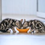Jaka będzie najlepsza karma dla kota juniora? Odpowiadamy!