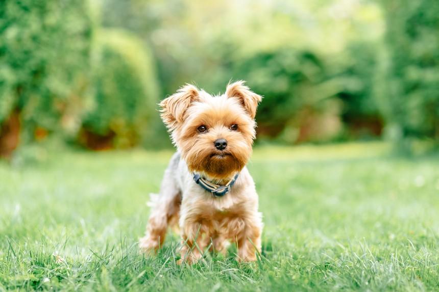 Yorkshire terrier – mały psiak z wielkim sercem, poznaj go bliżej!