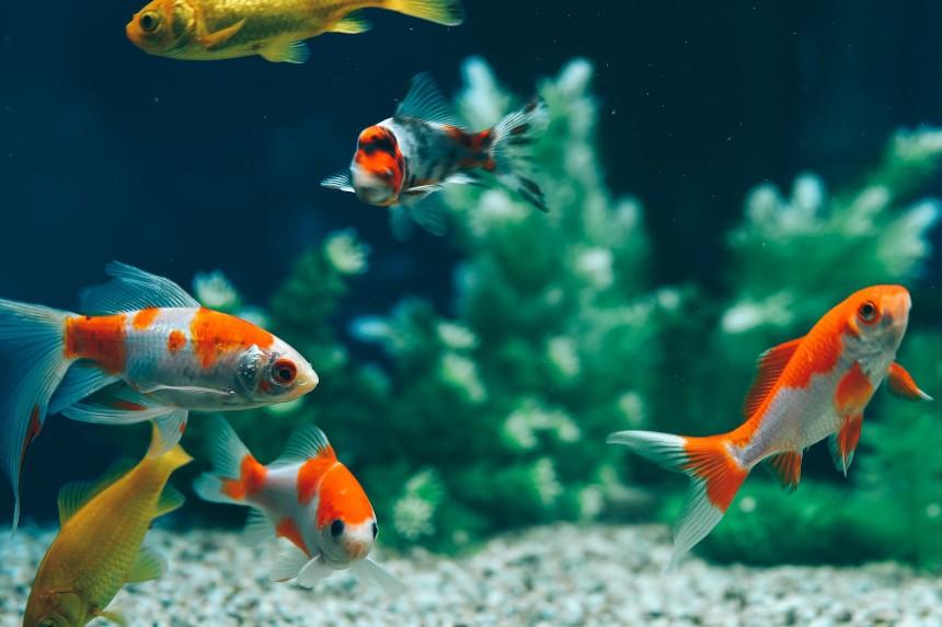 Jakie ryby mogą być razem w akwarium? Poznaj akwarium towarzyskie