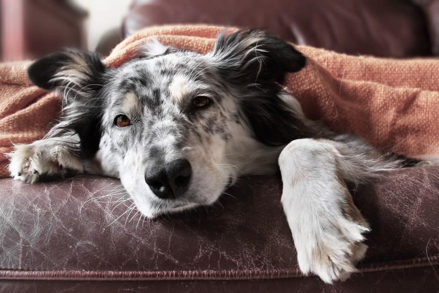 Kłębuszkowe zapalenie nerek. Objawy i leczenie choroby u psa