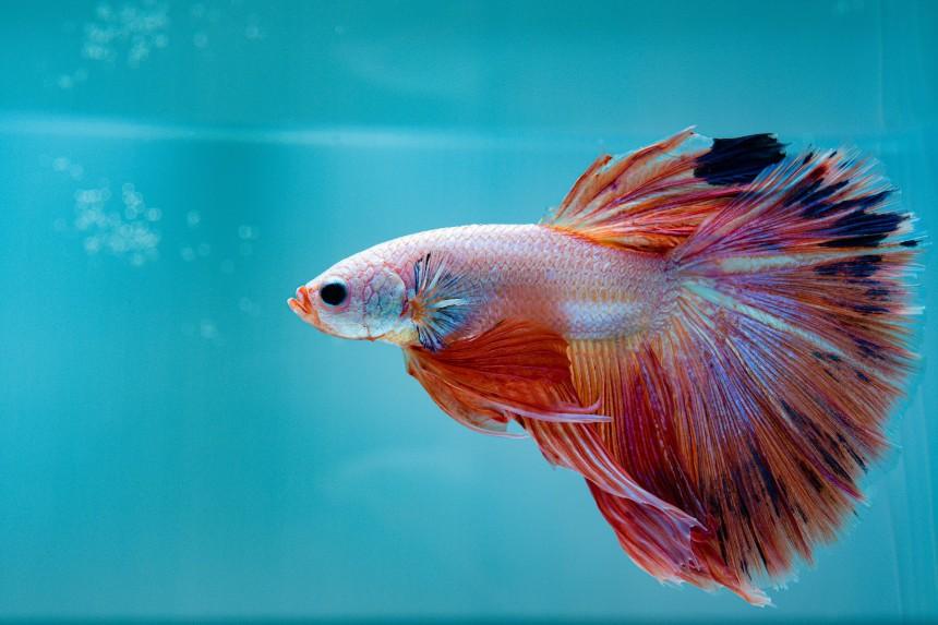 Ryby mięsożerne – jak je karmić w domowych warunkach?