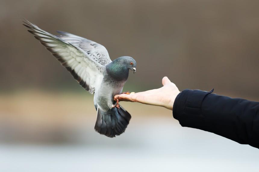 Skąd gołębie pocztowe wiedzą gdzie lecieć?