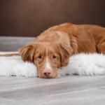 Anemia u psa - objawy i przyczyny