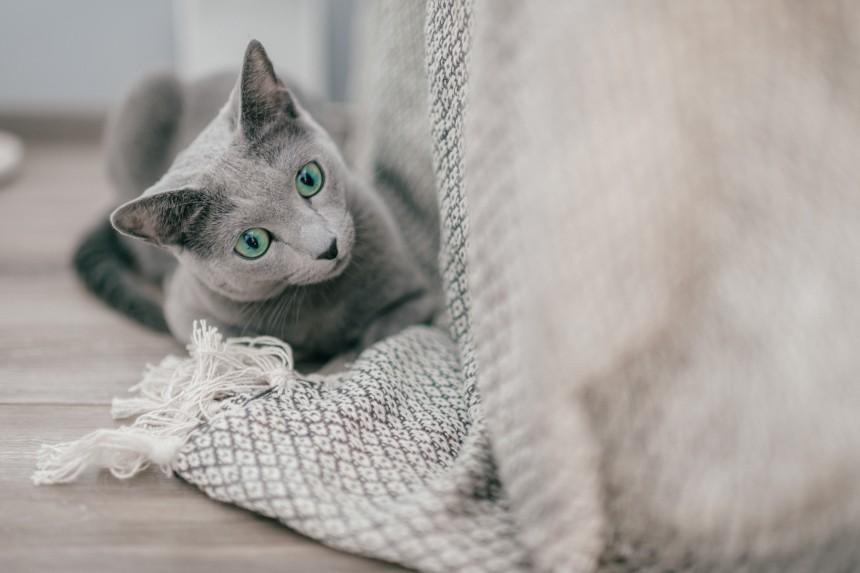 Ile żyją koty rosyjskie niebieskie?