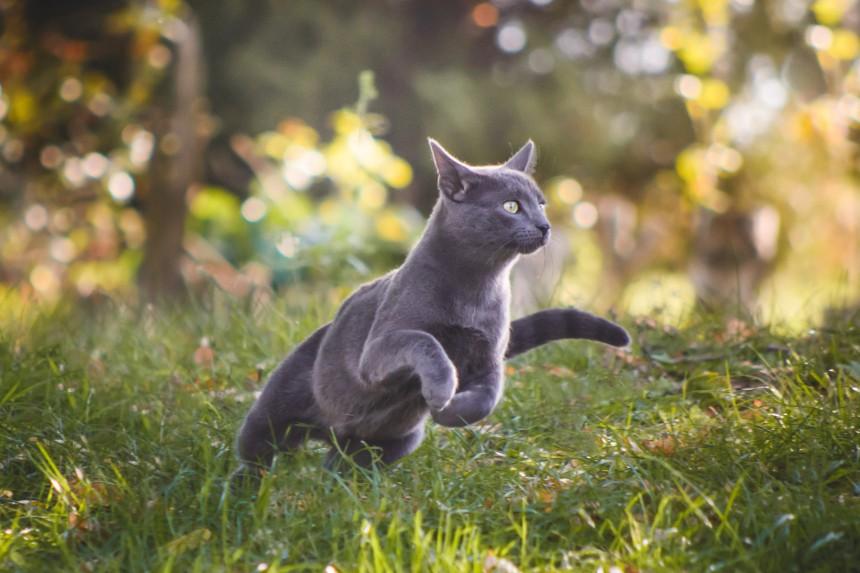Zwinne koty niebieskie rosyjskie