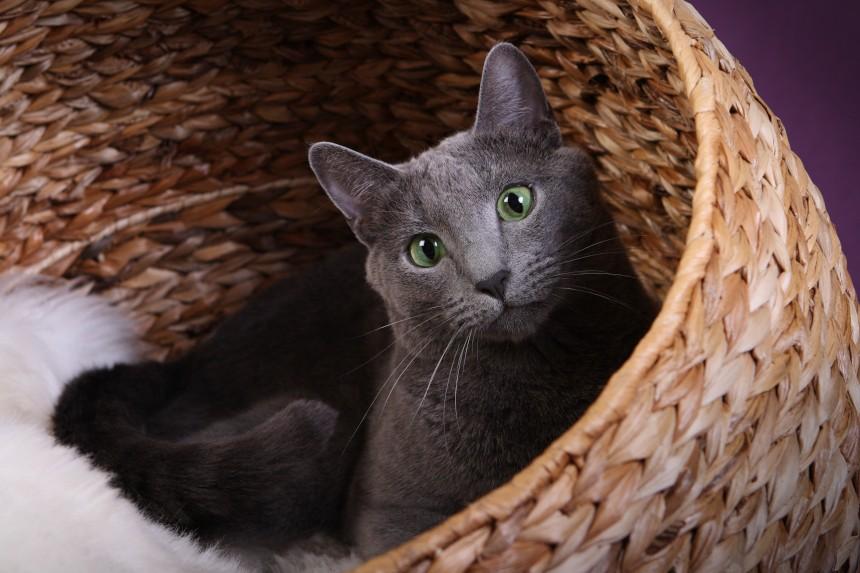 Koty rosyjskie niebieskie - oczy kota