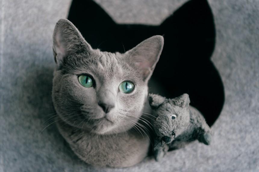 Rosyjski niebieski kot - jaki jest?