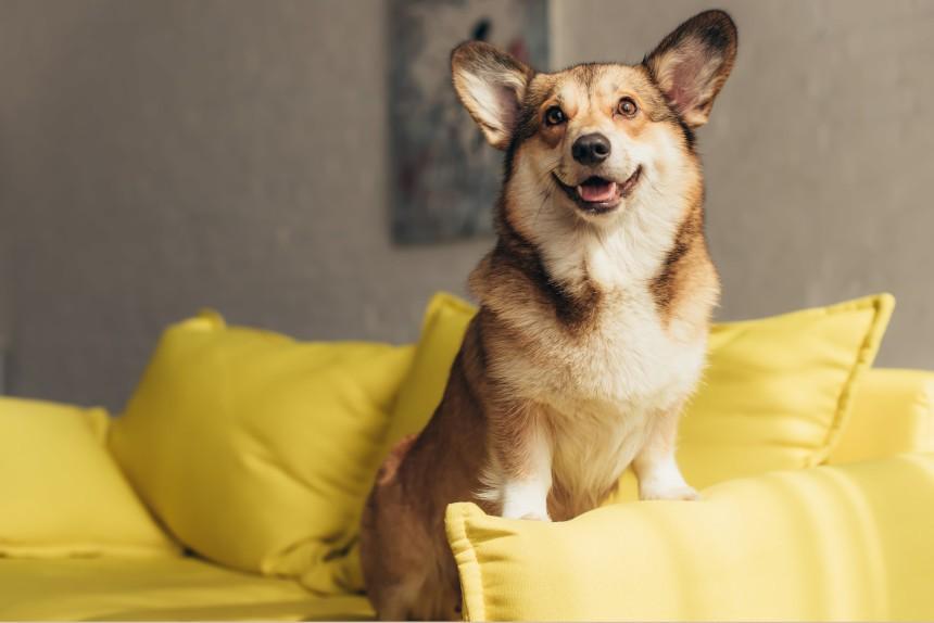 Psy królowej Elżbiety II - corgi