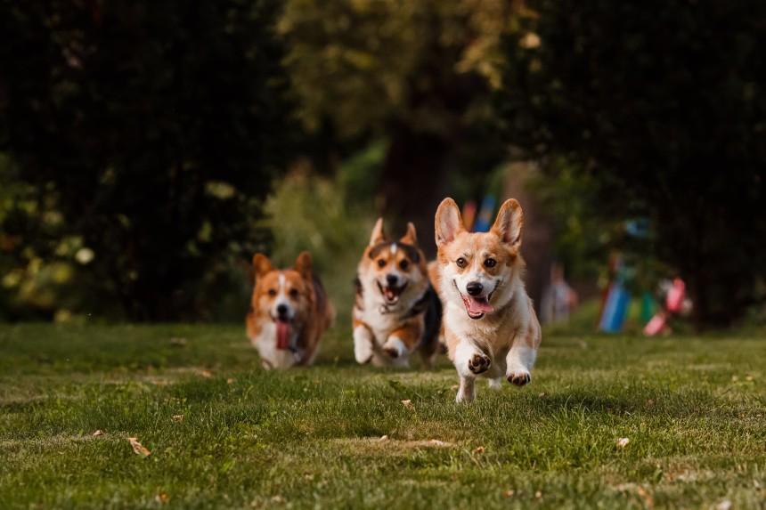 Corgie - pies, który lubi towarzystwo