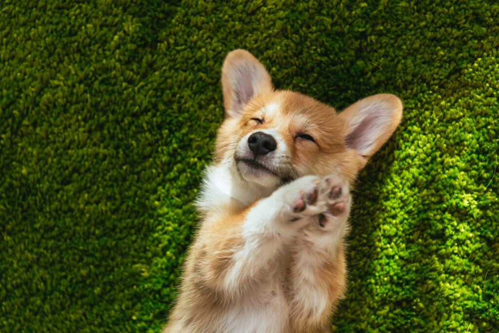 Pies rasy corgi - co musisz wiedzieć?