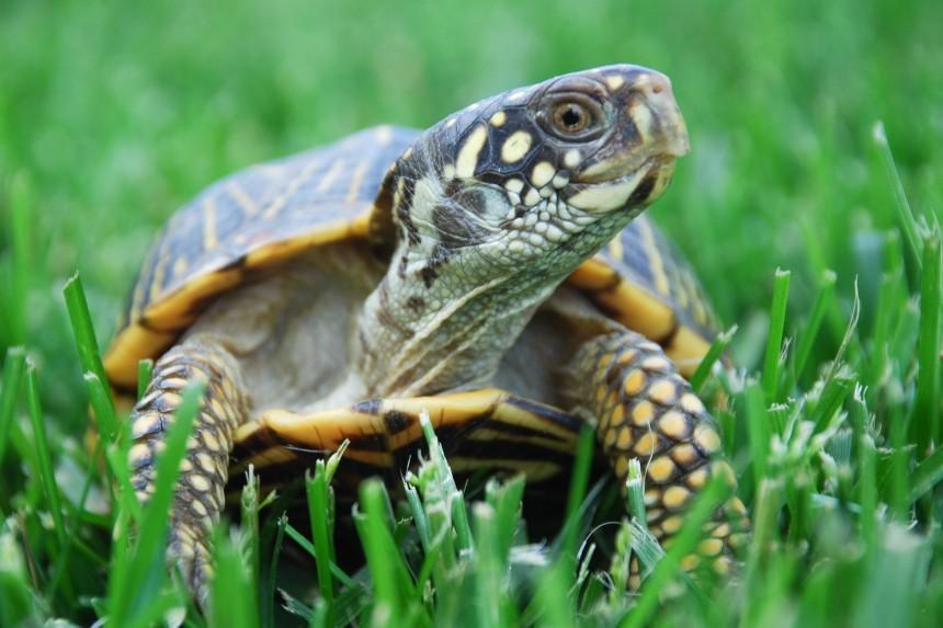 Ile żyje żółw? Życie domowego żółwia w pigułce