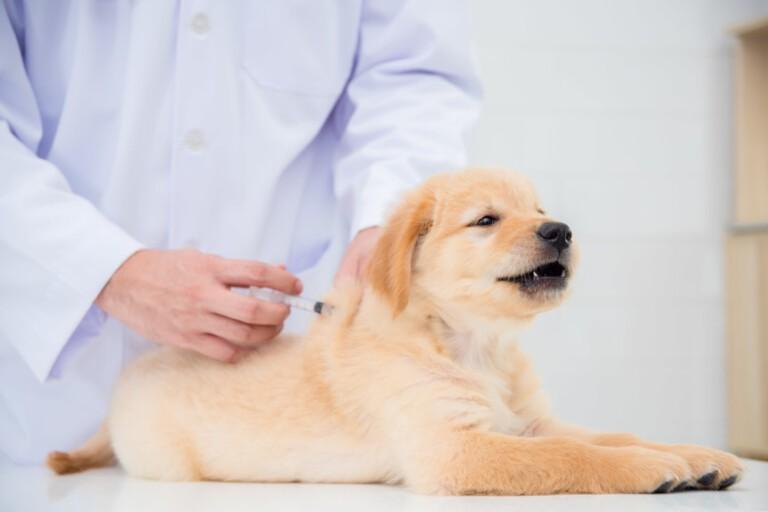 Obowiązkowe szczepienia szczeniaka – jakie są i kiedy je wykonać?