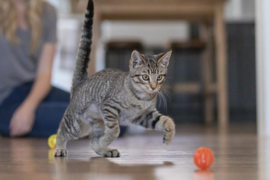 Karma bezzbożowa dla kota – zalety karmy bez dodatku zbóż dla kota