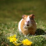 Twoja świnka morska kicha? Co to oznacza?