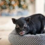 Jaka jest miniaturowa świnka?