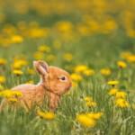 Czy królik może jeść mlecz?