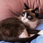 Jaki jest kot rasy showshoe?
