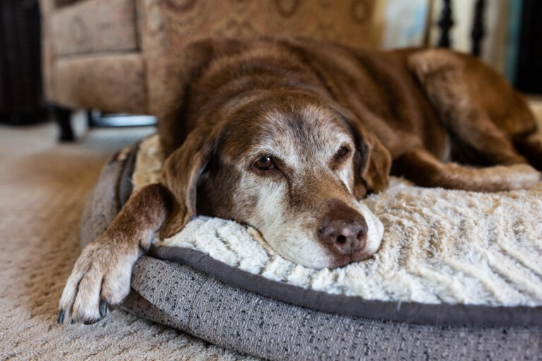 Demencja u psa, czyli jak wygląda starość czworonoga
