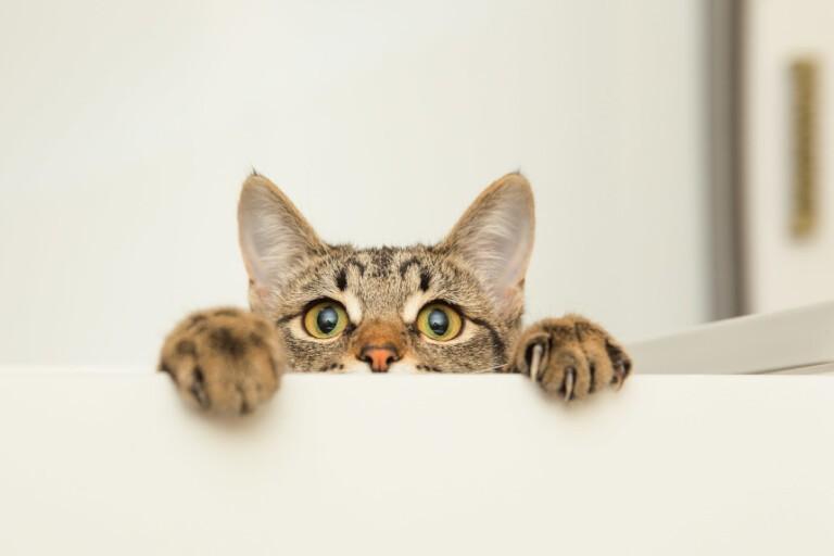 Czyszczenie uszu kotu – w jaki sposób to robić?