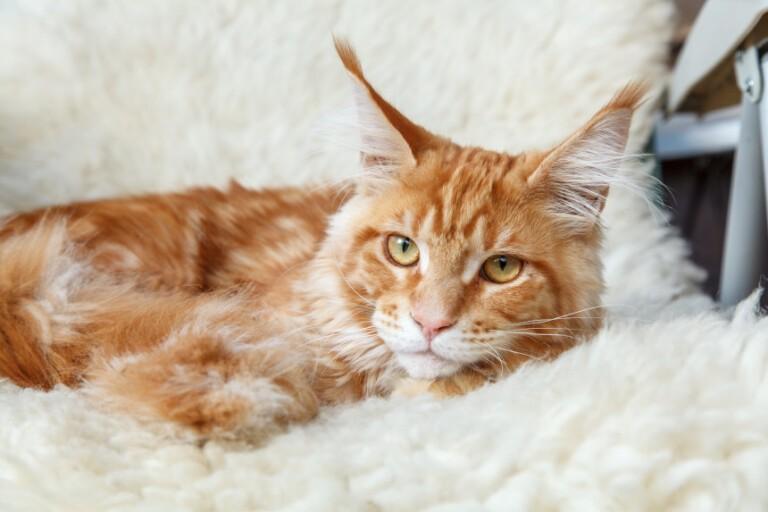 Tasiemiec u kota. Objawy, leczenie i przeciwdziałanie