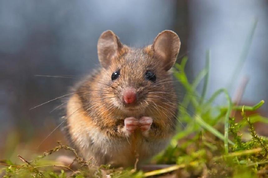 Hodujesz mysz? Dowiedz się, co jedzą myszy! – Blog zoologiczny ZooArt
