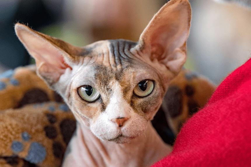 Duże łysy kot